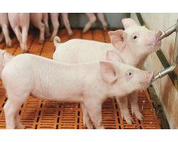 Обеспечение свиней водой - на что обращать внимание