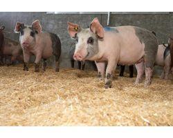 Болезни свиней и поросят