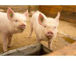 Значение витамина D для иммунной системы свиньи