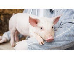 Основні захворювання свиней: діагностика, лікування та профілактика захворювань