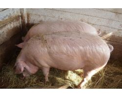 Утримання свиней в домашніх умовах: основні правила по догляду та харчування свиней