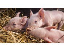 Глисты у свиней и поросят