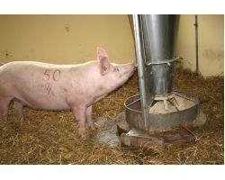 Как правильно кормить свиноматок