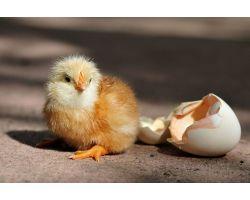 Правильная инкубация куриных яиц: технология и режимы