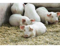 Клостридиоз и меры борьбы с ним в промышленном свиноводстве