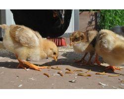 Корма животного происхождения для кур