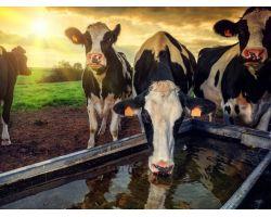 Рекомендації з напування корів: скільки потрібно води для великої рогатої худоби та як підбирати поїлки