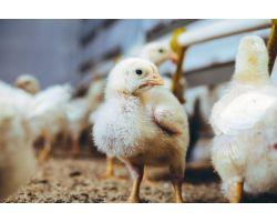 Цыплята бройлеров: правильный уход и особенности выращивания
