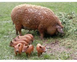 Венгерская мангалица: особенности породы, как содержать и разводить