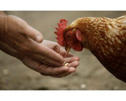 Отравление кур —  симптомы и лечение домашней птицы