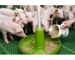 Как выбрать комбикорм для свиней?