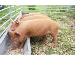 Чим годувати свиней для швидкого набору ваги в домашньому господарстві