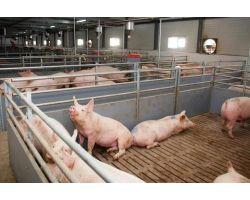 До какого веса выгодно откармливать свиней