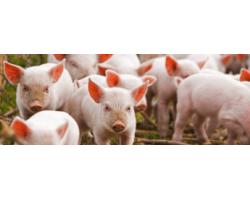 Украинские породы свиней и особенности их содержания