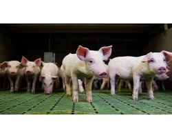 Оптимальное кормление ремонтных свинок