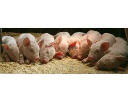 Перспективное разведение свиней в домашних условиях