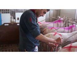 Способ искусственного осеменения свиней: правильное оплодотворение свиноматки