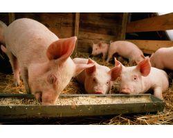 Сколько нужно корма, чтобы вырастить свинью