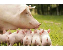 Интенсивность использования и оптимальная структура стада свиноматок
