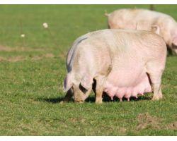 Все о супоросных свиноматках