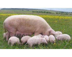 Як побудувати бізнес на свинях в домашніх умовах
