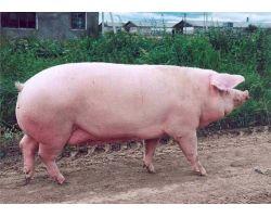 Преимущества содержания и разведения крупной белой породы свиней