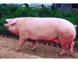 Какую беконную породу свиней выбрать для разведения?