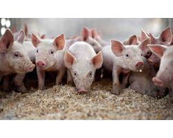 Диагностика и лечение кожных заболеваний свиней