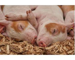 Готовим комбикорм для свиней своими руками