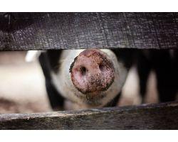 Цирковирусная инфекция свиней: проявления, лечение и профилактика