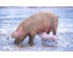 Утримання поросят і дорослих свиней взимку