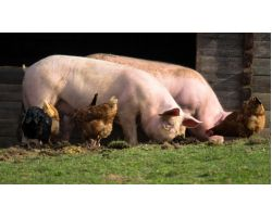 БМВД для свиней — рецепт продуктивного животноводства