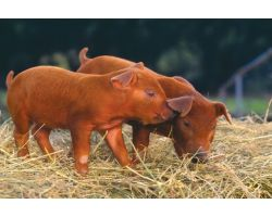 Характерные особенности породы свиней Дюрок