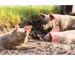 Какой комбикорм лучше для свиней