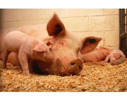 Питание свиноматок в период супоросности