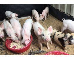 Рожа у свиней: лечение в домашних условиях возможно!