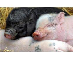 Топ 10 пород свиней для малого и среднего бизнеса