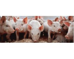 Кормление свиней — особенности выбора комбикорма для свинофермы