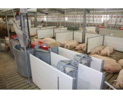 Особенности правильного и выгодного кормления свиней