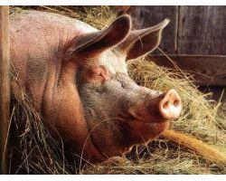 Таблиця виміру свиней за параметрами