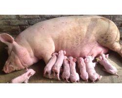 От чего худеют свиноматки на участке опороса