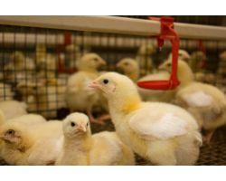 Проблемы птиц, связанные с работой линий поения