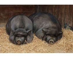 Вьетнамские свиньи: особенности породы, уход и содержание