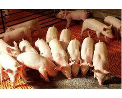 Какой лучше выбрать комбикорм для свиней — эффективный откорм