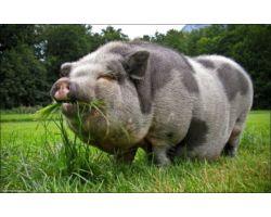 Таблица для нормального откорма свиней: состав рациона и нормы