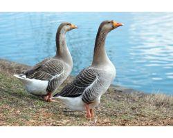 Технологія вирощування гусей для швидкого зростання