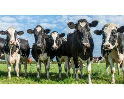 Роль кальцію і фосфору в годівлі корів