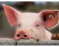 Способы удешевления кормления свиней