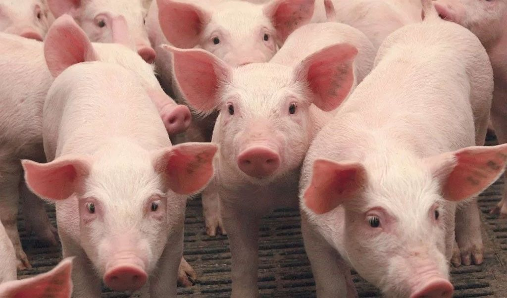 Беконные свинки