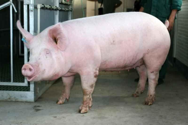 біла степова свиня